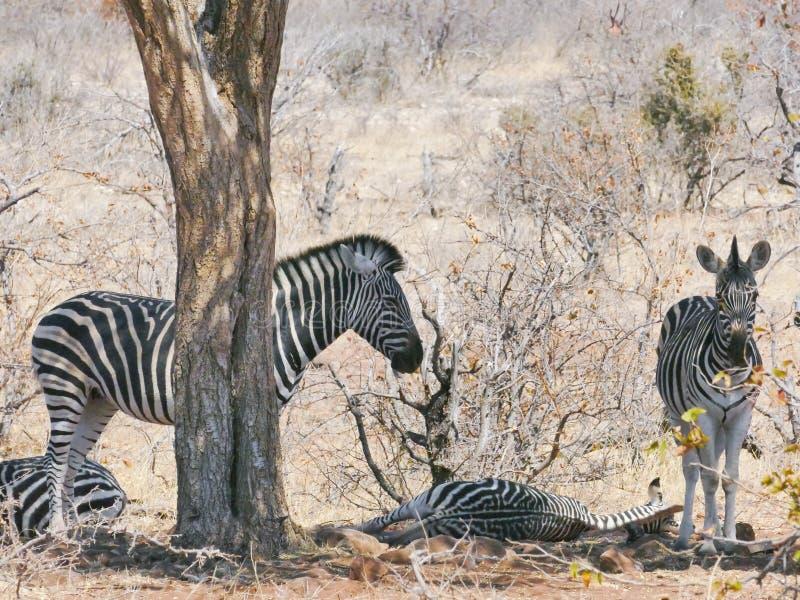 斑马在马蓬古布韦国家公园 免版税图库摄影