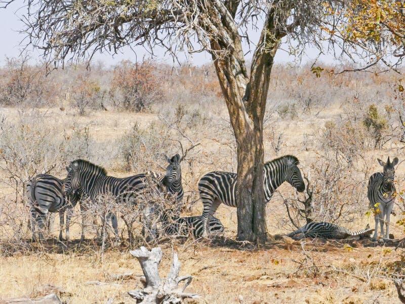 斑马在马蓬古布韦国家公园 图库摄影