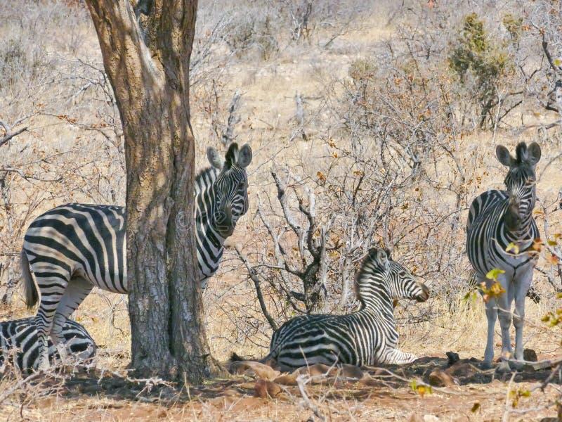 斑马在马蓬古布韦国家公园 库存照片