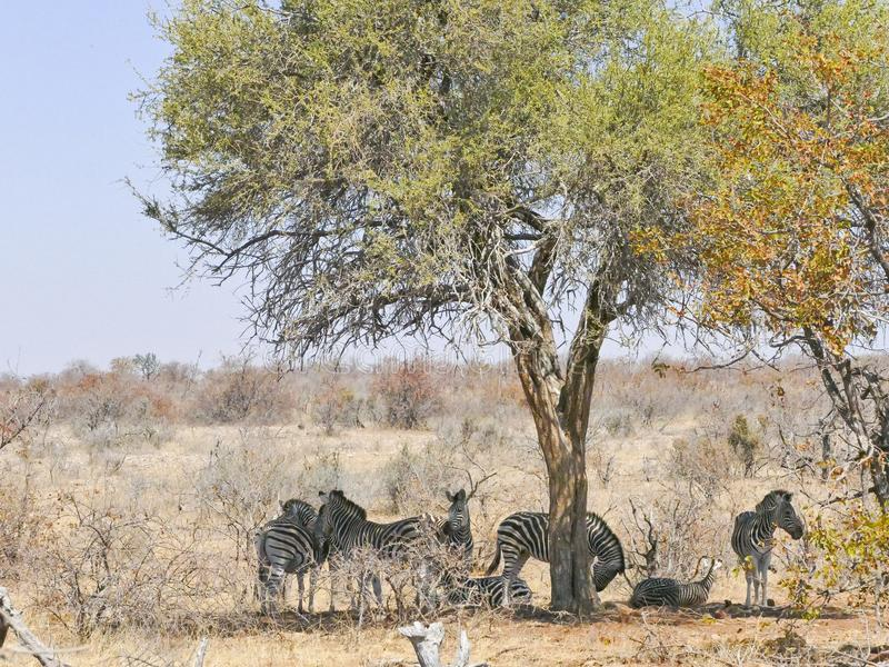 斑马在马蓬古布韦国家公园 免版税库存图片