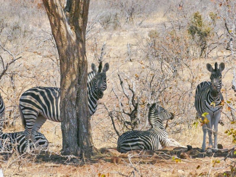斑马在马蓬古布韦国家公园 免版税库存照片