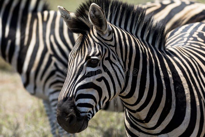 斑马在Kruge公园,南非 库存图片