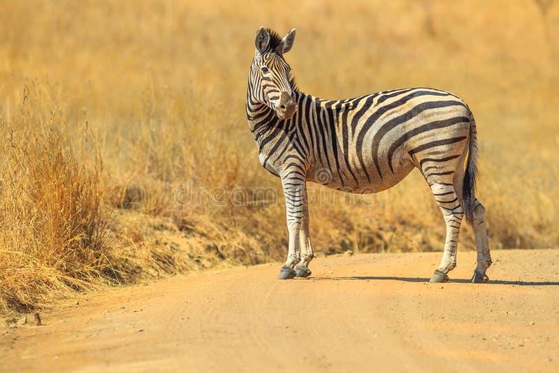 斑马在Madikwe 库存图片
