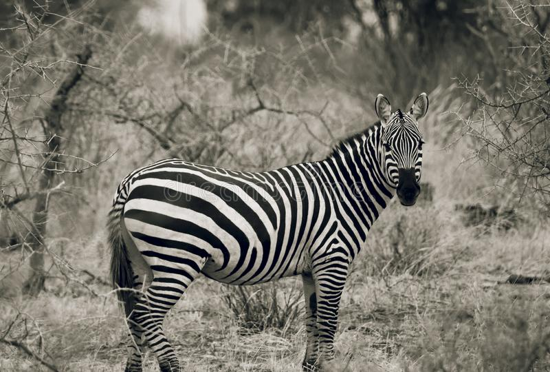 斑马在Tsavo国家公园肯尼亚黑白的东非 免版税库存图片