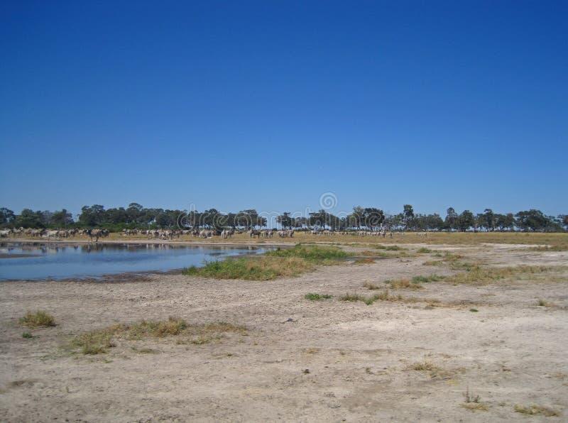 斑马大牧群在平底锅的水旁边 库存图片