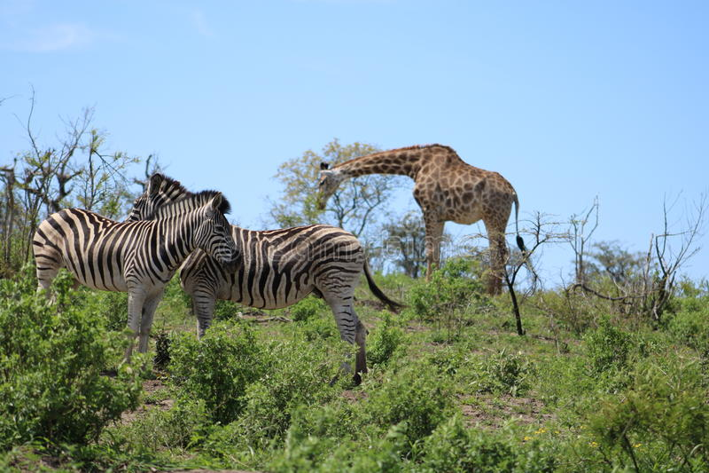 斑马夫妇和长颈鹿 免版税库存照片