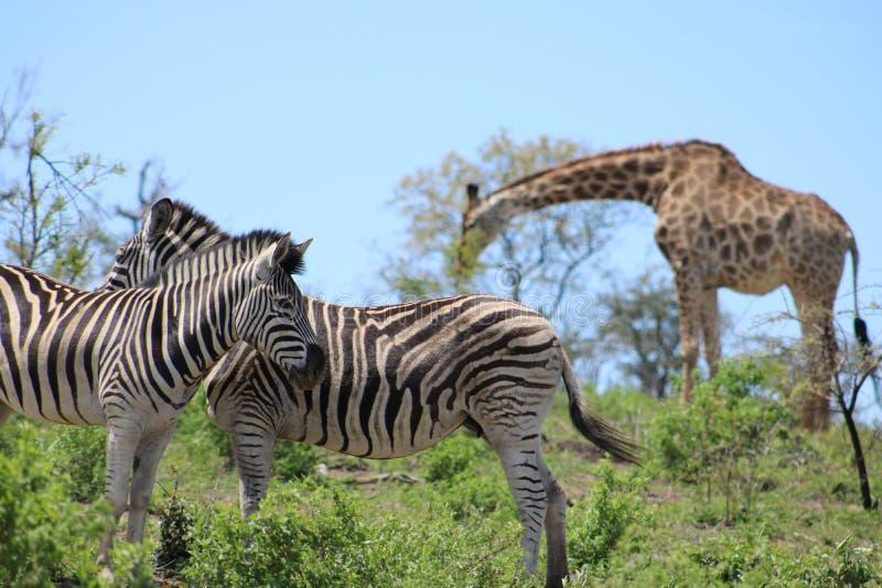 斑马夫妇和长颈鹿 库存图片