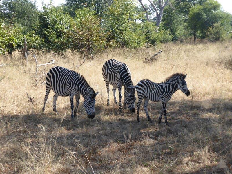 斑马家庭赞比亚徒步旅行队非洲自然野生生物 免版税库存图片