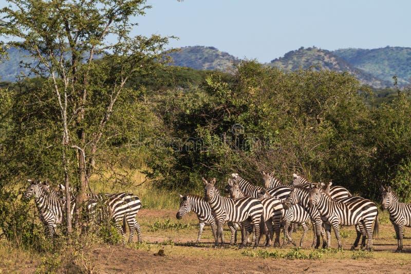 斑马小牧群在大草原的 塞伦盖蒂,非洲 免版税图库摄影