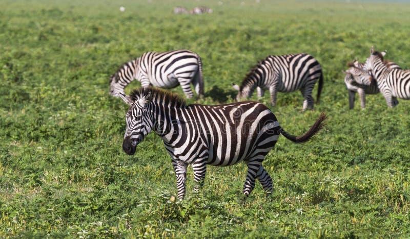 斑马小牧群在NgoroNgoro火山口的 坦桑尼亚,非洲 库存照片