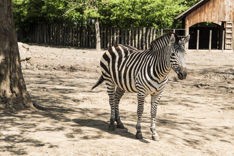 斑马是非洲人的几个种类 库存图片