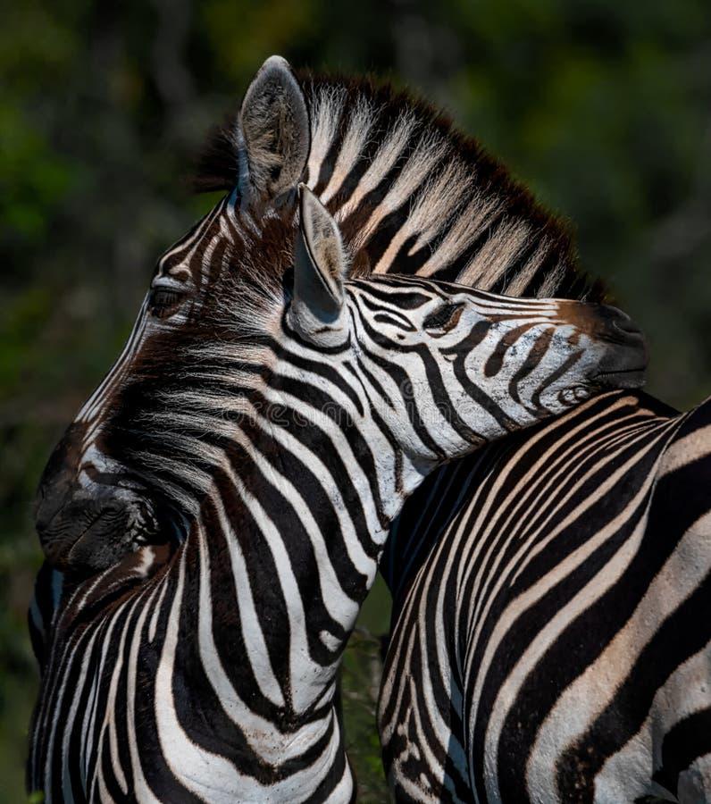 斑马母亲和婴孩爱 免版税库存照片