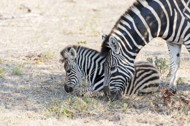 斑马母马和不理智 库存图片