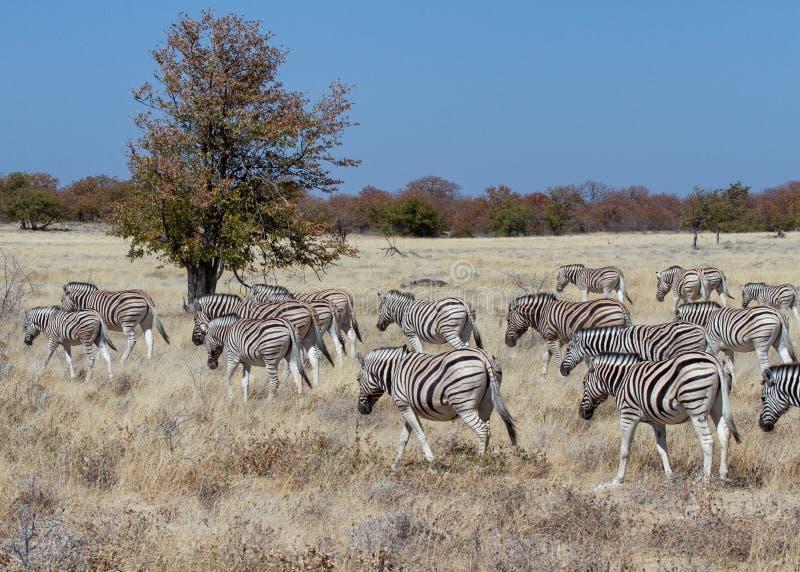 斑马牧群在埃托沙国家公园 库存照片