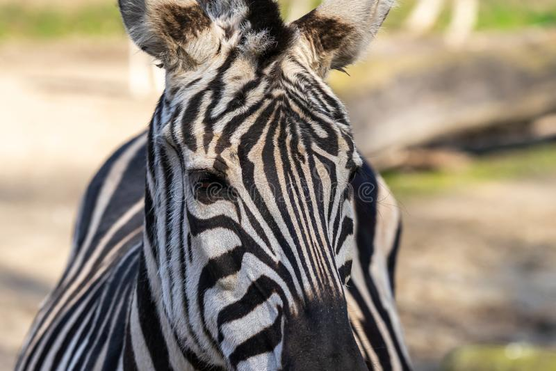 斑马的画象,从正面图的科学名字马属斑马 库存照片