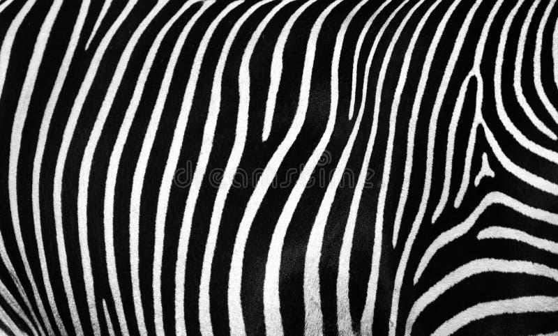 斑马的皮肤的纹理 库存照片