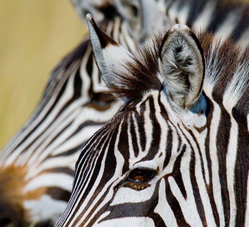 斑马的纵向 特写镜头 肯尼亚 坦桑尼亚 国家公园 serengeti 马赛马拉 免版税库存图片