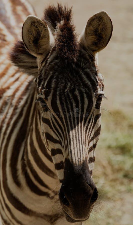 斑马的面孔的射击 库存照片