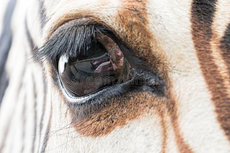 斑马眼睛特写镜头与另一匹斑马的反射的 免版税库存图片