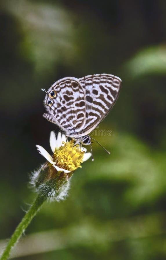 斑马蓝色 免版税图库摄影