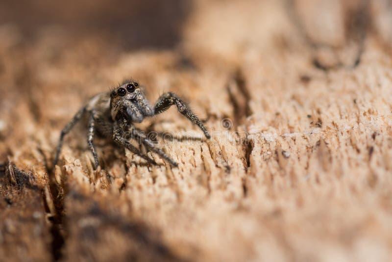 斑马蜘蛛(Salticus scenicus)眼睛和palps 免版税库存图片