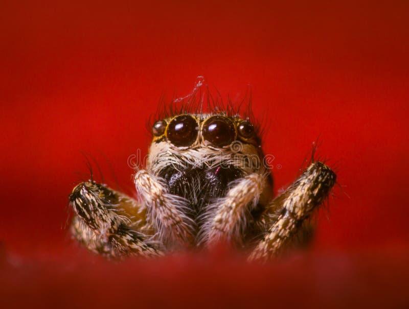 斑马跳跃的蜘蛛 库存图片