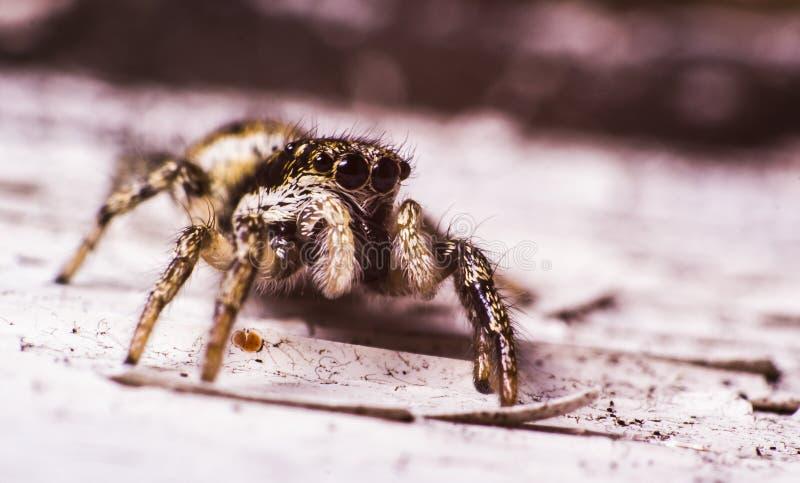 斑马跳跃的蜘蛛 库存照片
