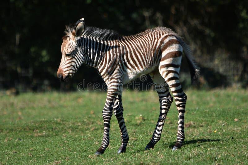 斑马驹格雷维的斑马 免版税图库摄影