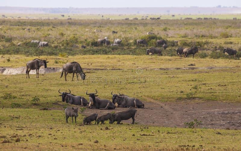 斑马,角马在Amboseli停放,肯尼亚 库存图片