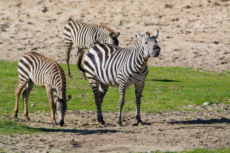 斑马,马家庭动物,生活在草原, savannas,木头 库存图片
