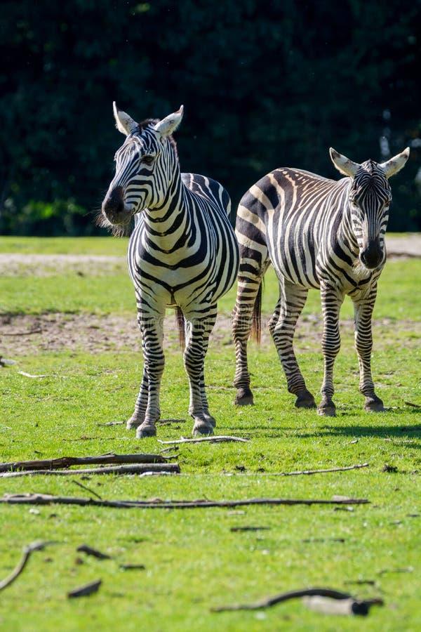 斑马,马家庭动物,生活在草原, savannas,木头 免版税库存图片