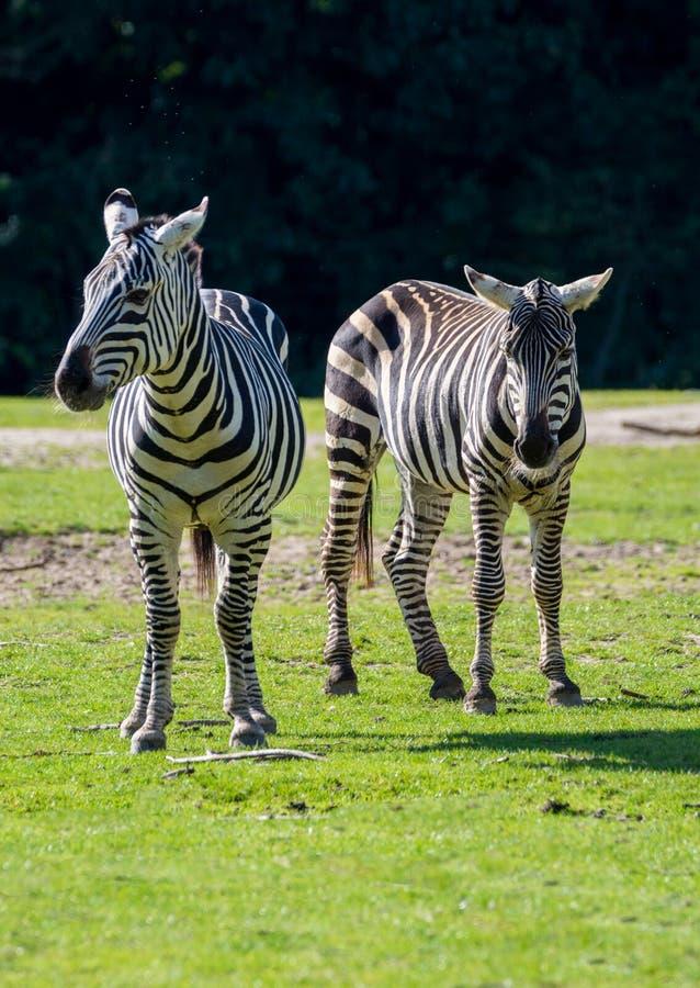 斑马,马家庭动物,生活在草原, savannas,木头 免版税图库摄影
