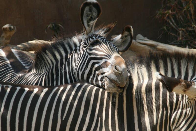 斑马鼻插入-洛杉矶动物园 免版税图库摄影
