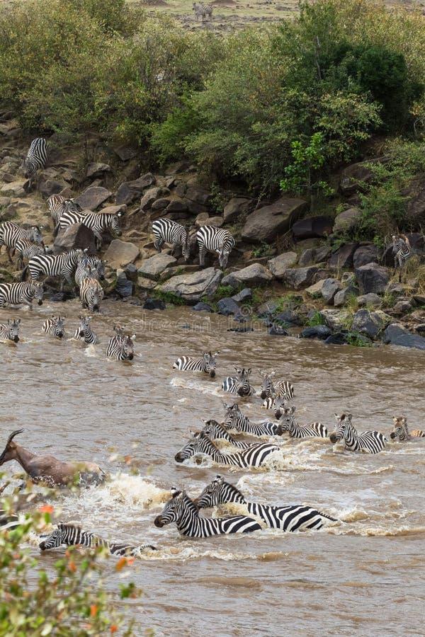 斑马 穿过玛拉河在肯尼亚 马塞语玛拉,非洲 免版税库存图片