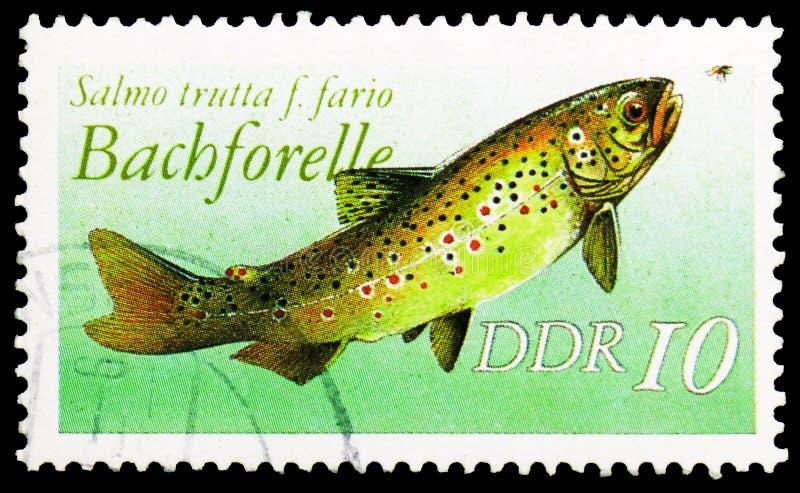 斑鳟斑鳟属trutta f fario,淡水鱼serie,大约1988年 库存照片