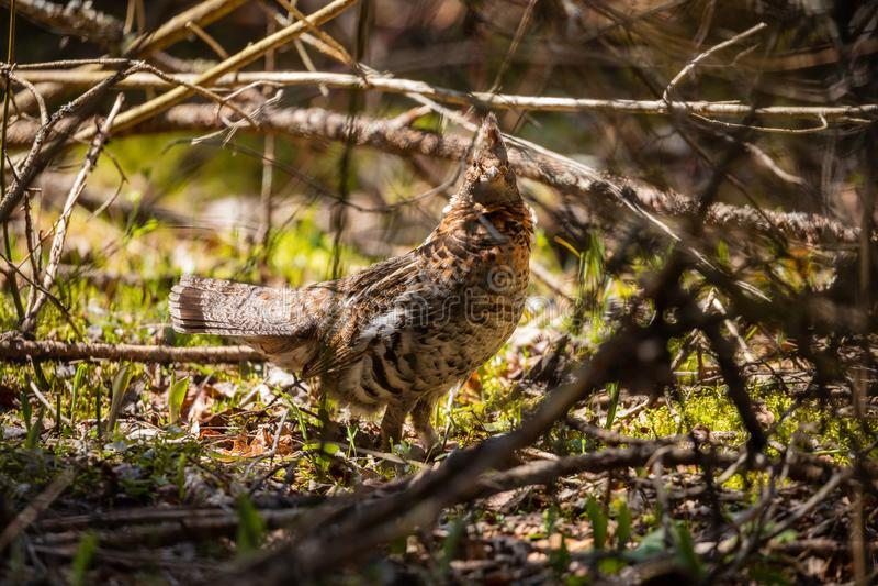 斗鸡在普卡斯克瓦国家公园在加拿大 免版税库存图片