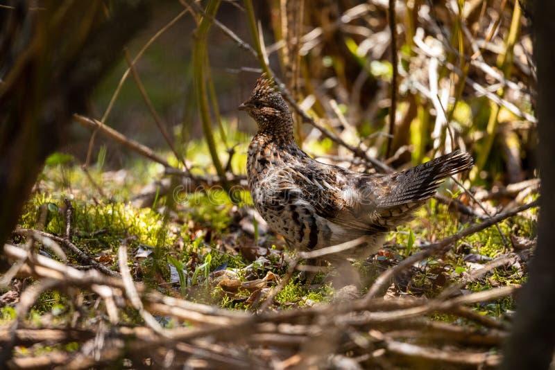 斗鸡在普卡斯克瓦国家公园在加拿大 库存图片