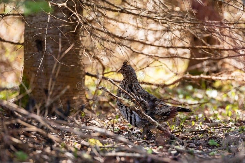 斗鸡在普卡斯克瓦国家公园在加拿大 免版税图库摄影