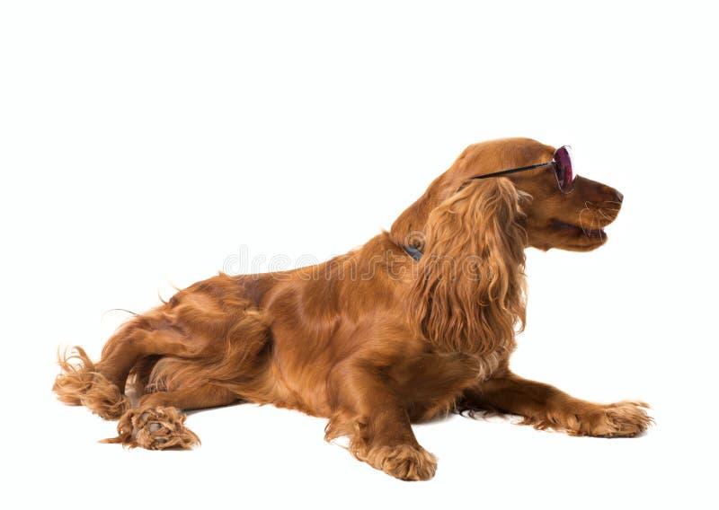 斗鸡家位于的西班牙猎狗太阳镜 库存图片