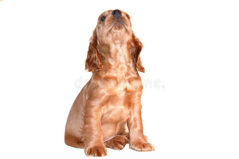 斗鸡家小狗西班牙猎狗 库存照片