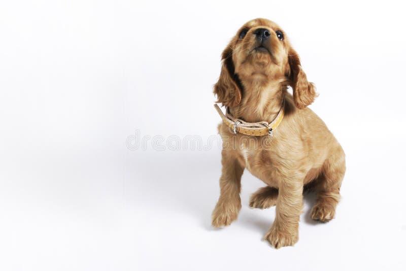 斗鸡家小狗西班牙猎狗 免版税库存图片