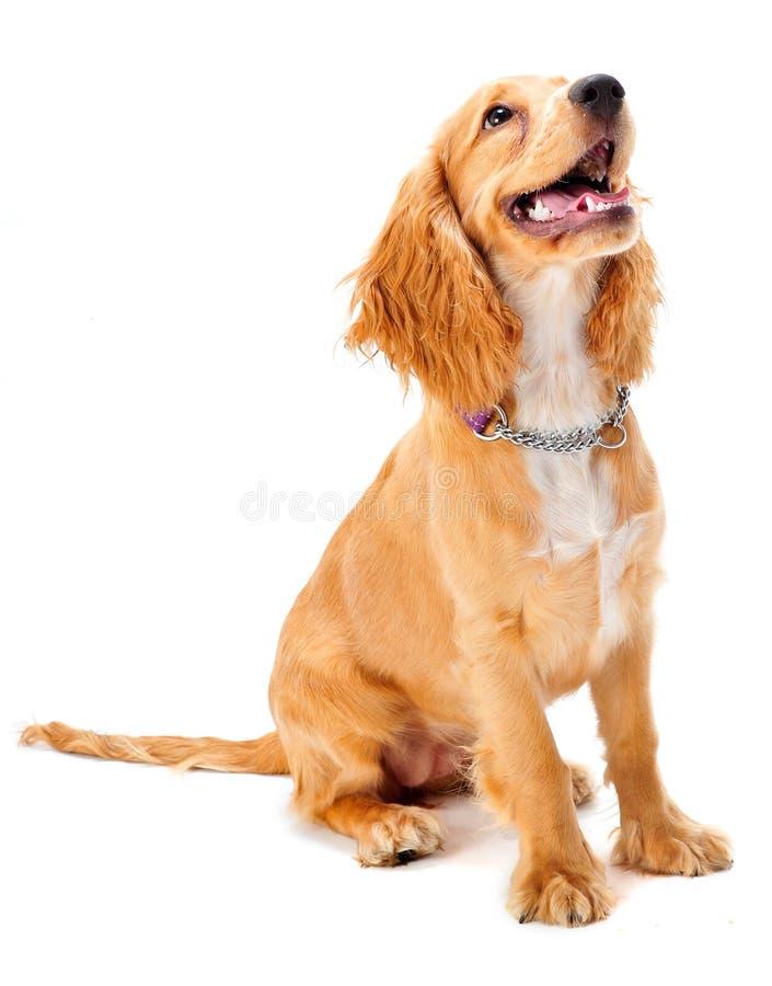 斗鸡家小狗西班牙猎狗 免版税库存照片