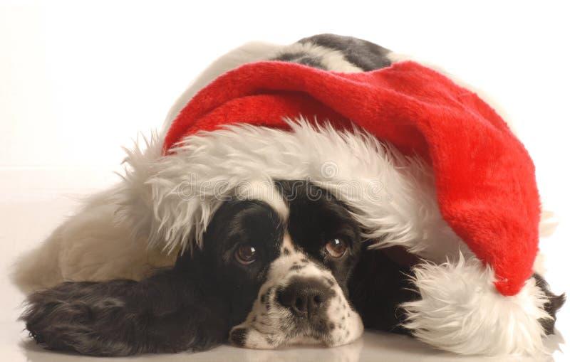斗鸡家帽子圣诞老人西班牙猎狗佩带 免版税图库摄影