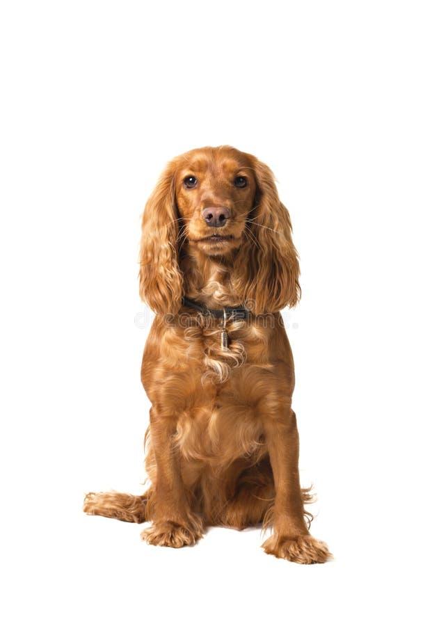 斗鸡家查出的坐的西班牙猎狗白色 图库摄影