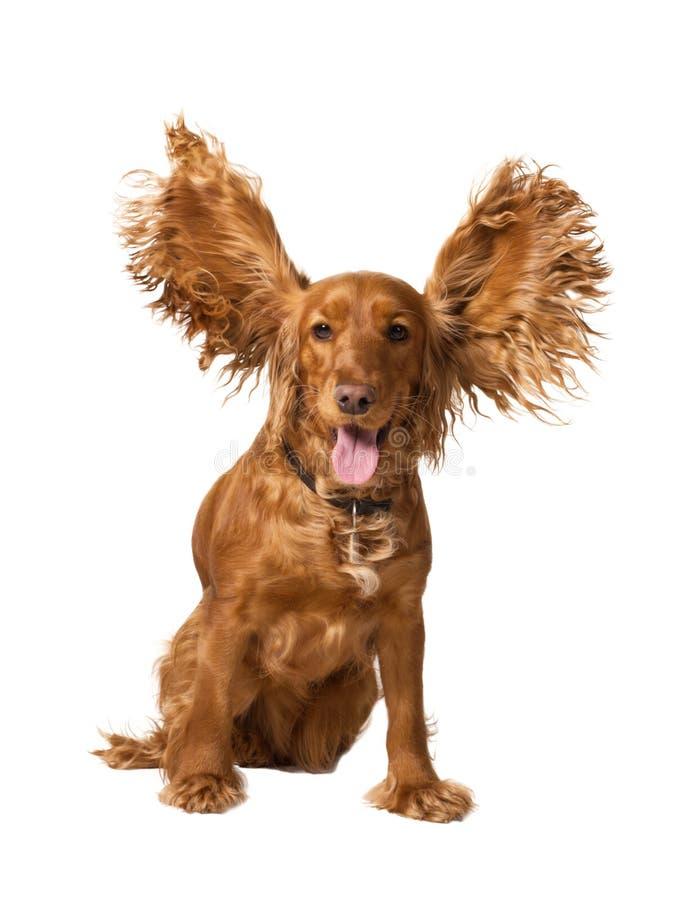 斗鸡家滑稽的西班牙猎狗 库存照片