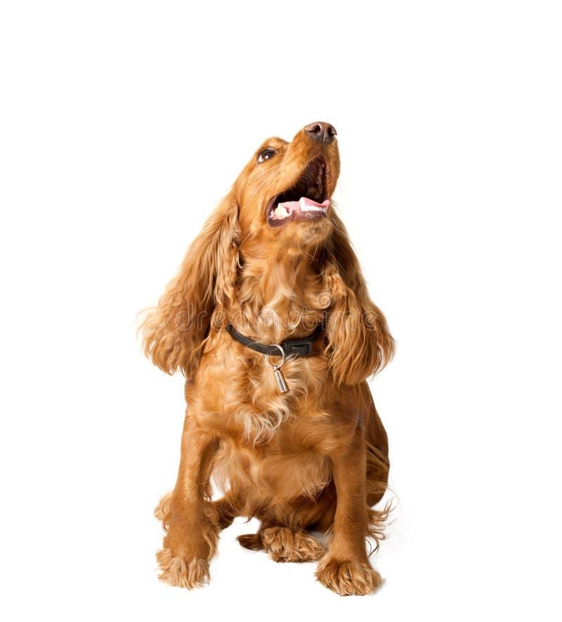 斗鸡家英国坐的西班牙猎狗 库存图片