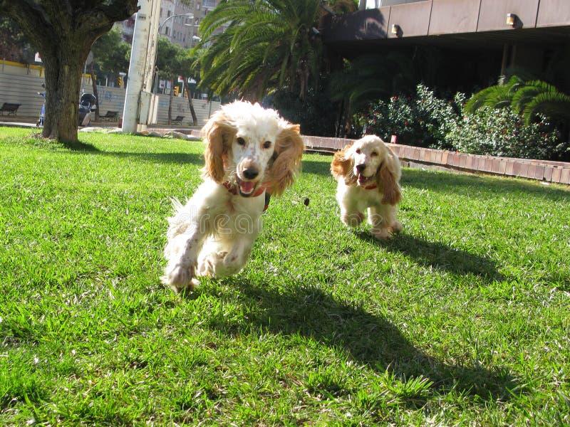 斗鸡家英国小狗西班牙猎狗二 免版税库存图片