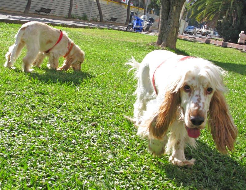 斗鸡家英国小狗西班牙猎狗二 图库摄影