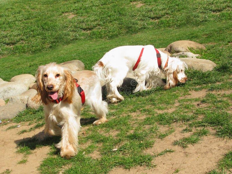 斗鸡家英国小狗西班牙猎狗二 库存照片