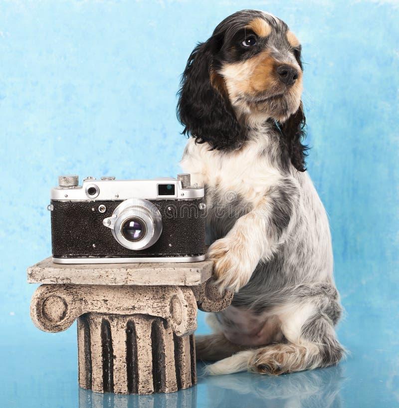 斗鸡家英国摄影师小狗西班牙猎狗 免版税库存照片